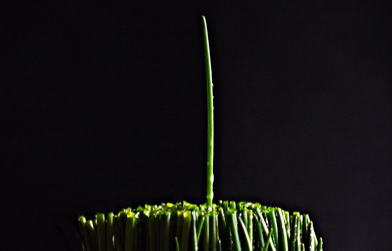 Black Background Chives Freshness Healthy Eating Herbs Low Angle View Nature Night No People Outdoors Photo Art Studio Photography