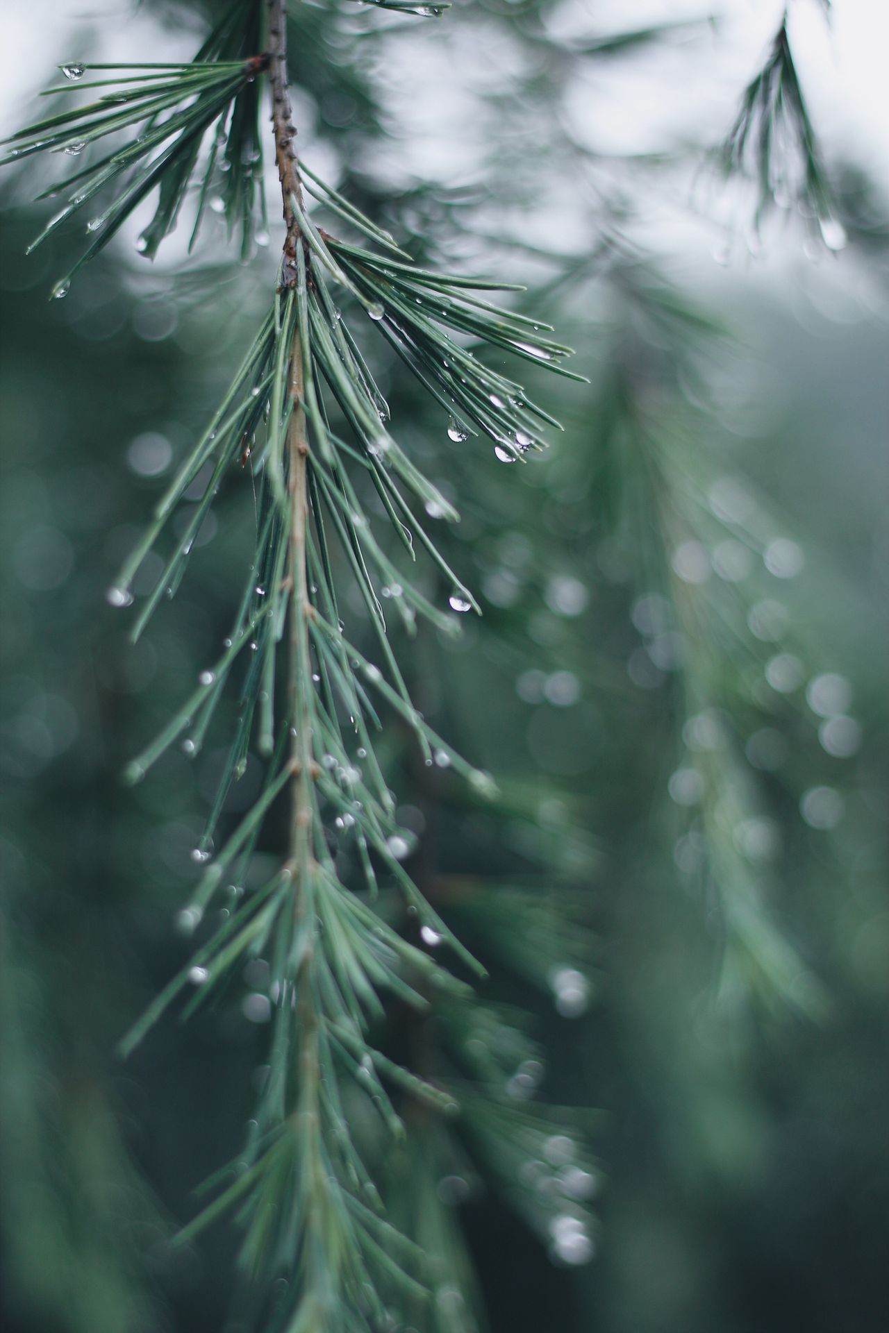 Rain Raindrops Rainy Days Drop Nature Growth Green Color Wet Focus On Foreground Beauty In Nature Close-up Needle - Plant Part Plant Day Leaf Freshness No People Outdoors RainDrop Tree Branch Water Needle Pine EyeEmNewHere