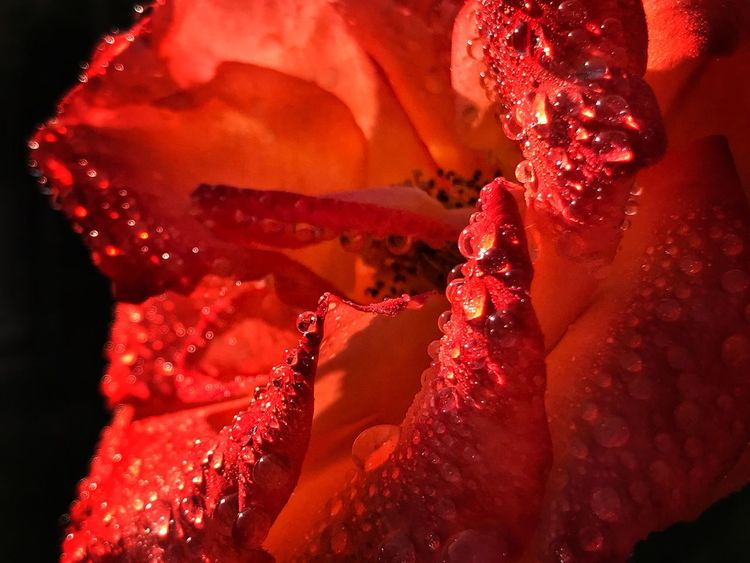 Drop Flower Nature Petal Red Close-up Water Wet Beauty In Nature Fragility Freshness Flower Head Growth RainDrop Night Outdoors