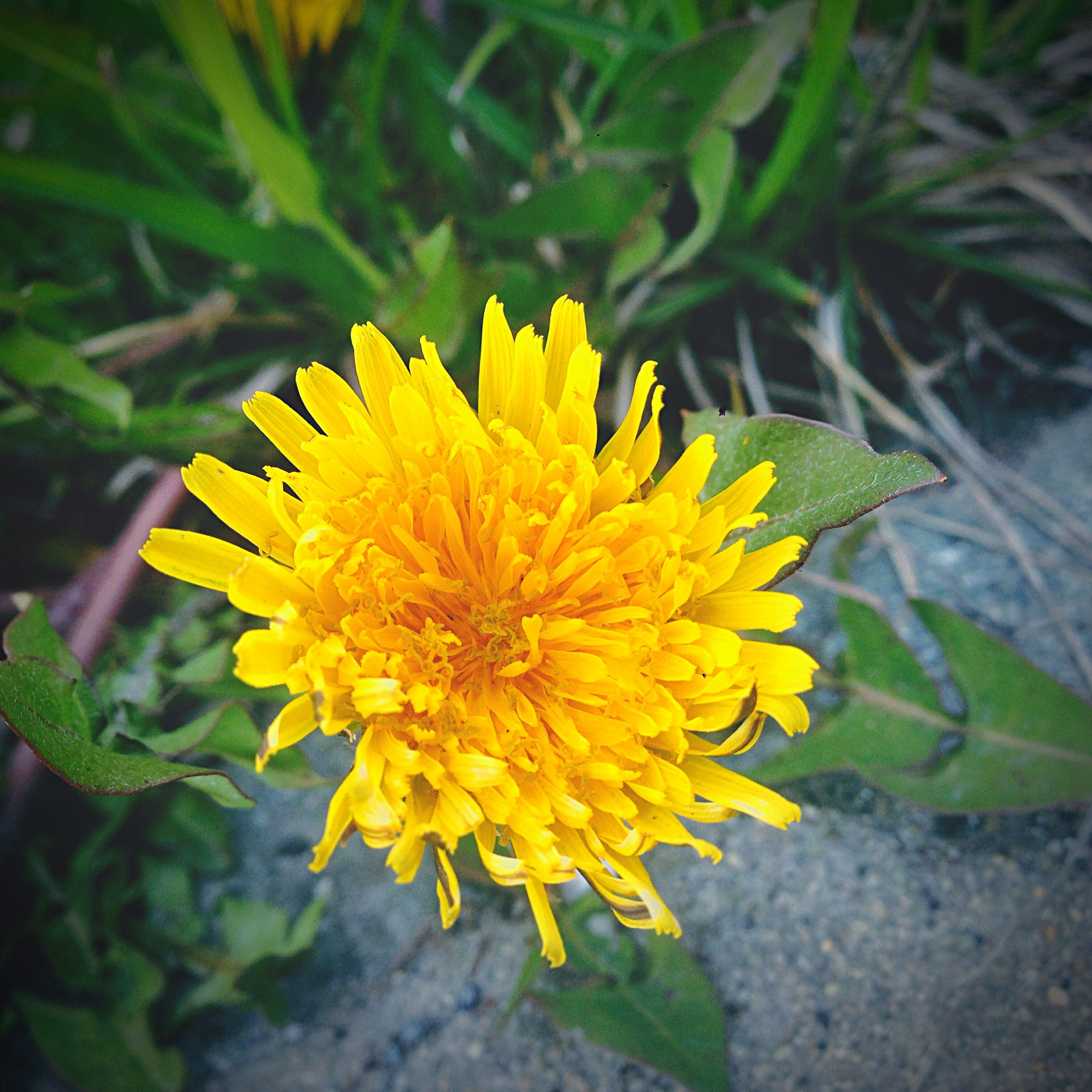 flower, yellow, petal, freshness, flower head, fragility, growth, beauty in nature, single flower, blooming, close-up, plant, nature, focus on foreground, pollen, in bloom, high angle view, leaf, outdoors, day