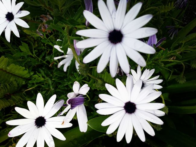 Flower Freshness Fragility Flower Head Petal White Color Beauty In Nature Growth Purple Close-up Nature Daisy Plant In Bloom Pollen Blooming Blossom Day Softness No People Ladyphotographerofthemonth The Week On Eyem Onerahi Whangarei New Zealand Beautifully Organized