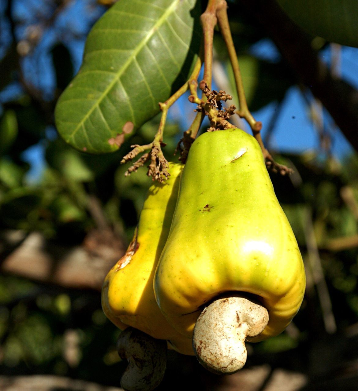 Close-Up Of Cashew Fruits Growing On Tree