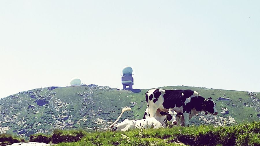 Austria Cattle Happy Anímals Cows Cows In The Meadow Technology Everywhere Tecnology Meets Nature Animals