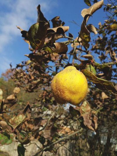 Fruit Yellow Tree Nature Agriculture Day Food Sky Freshness Quince Quincetree Bosnia And Hercegovina Suny Day ☀️ Autumn Autumn Colors