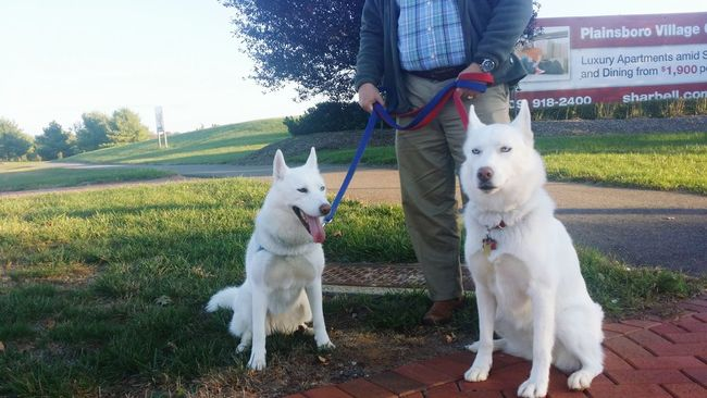 These two amazing dogs I met at work once :D White Dog❤ Huskeypride