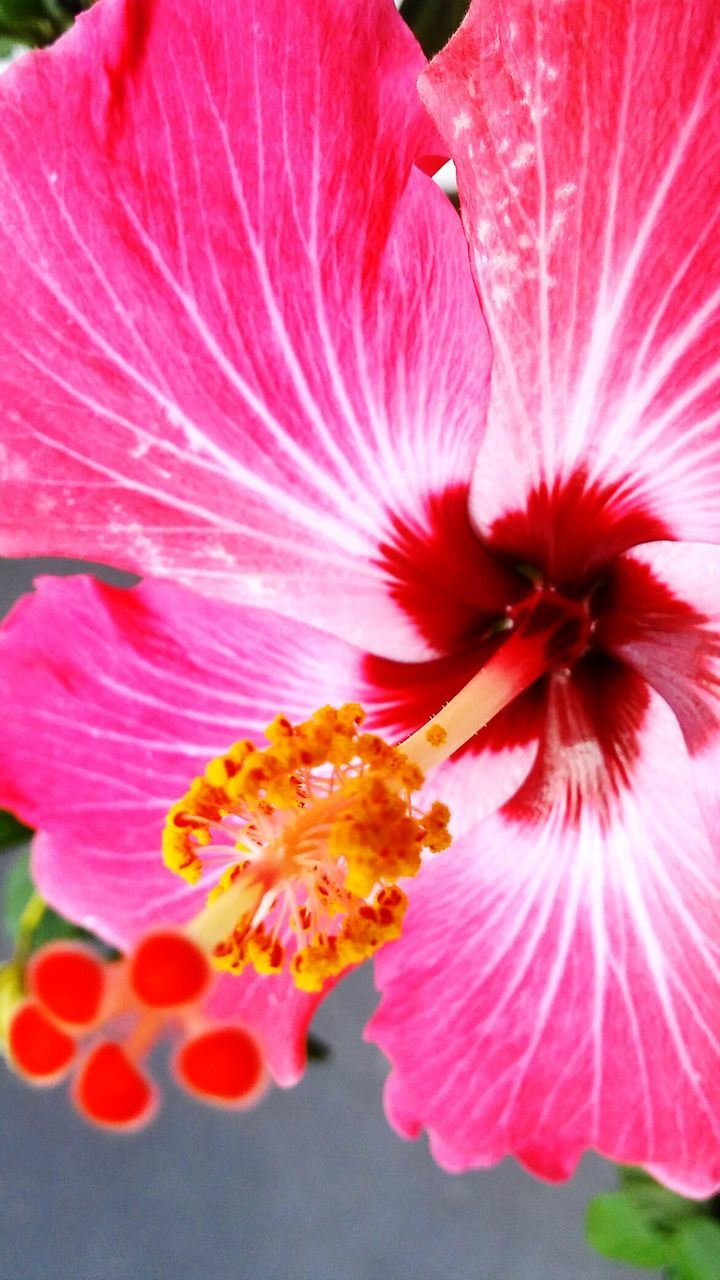 flower, petal, fragility, flower head, freshness, beauty in nature, growth, pink color, pollen, stamen, plant, nature, blooming, close-up, no people, day, hibiscus, outdoors, day lily