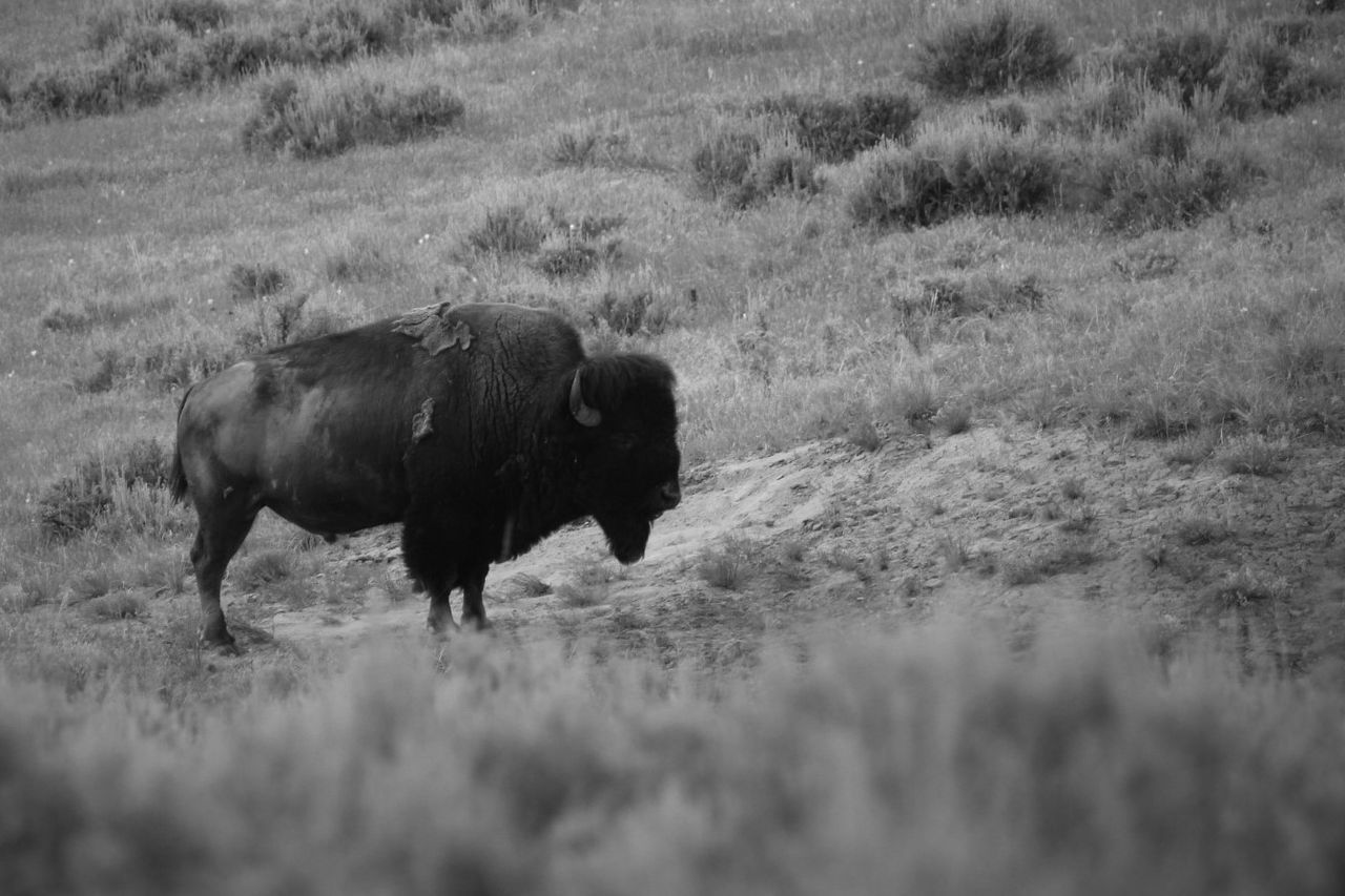 Animal Beauty In Nature Black & White Buffalo Field Grazing Mammal Rural Scene
