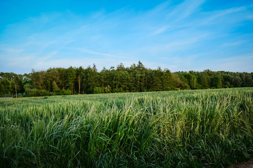 nature's green - the green green grass of home Agriculture Beauty In Nature Cereal Plant Cloud - Sky Crop  Day Enjoing The View Field Green Color Growth Landscape Live For The Story Nature No People Outdoors Rural Scene Scenics Sky Tranquility Tree Perspectives On Nature