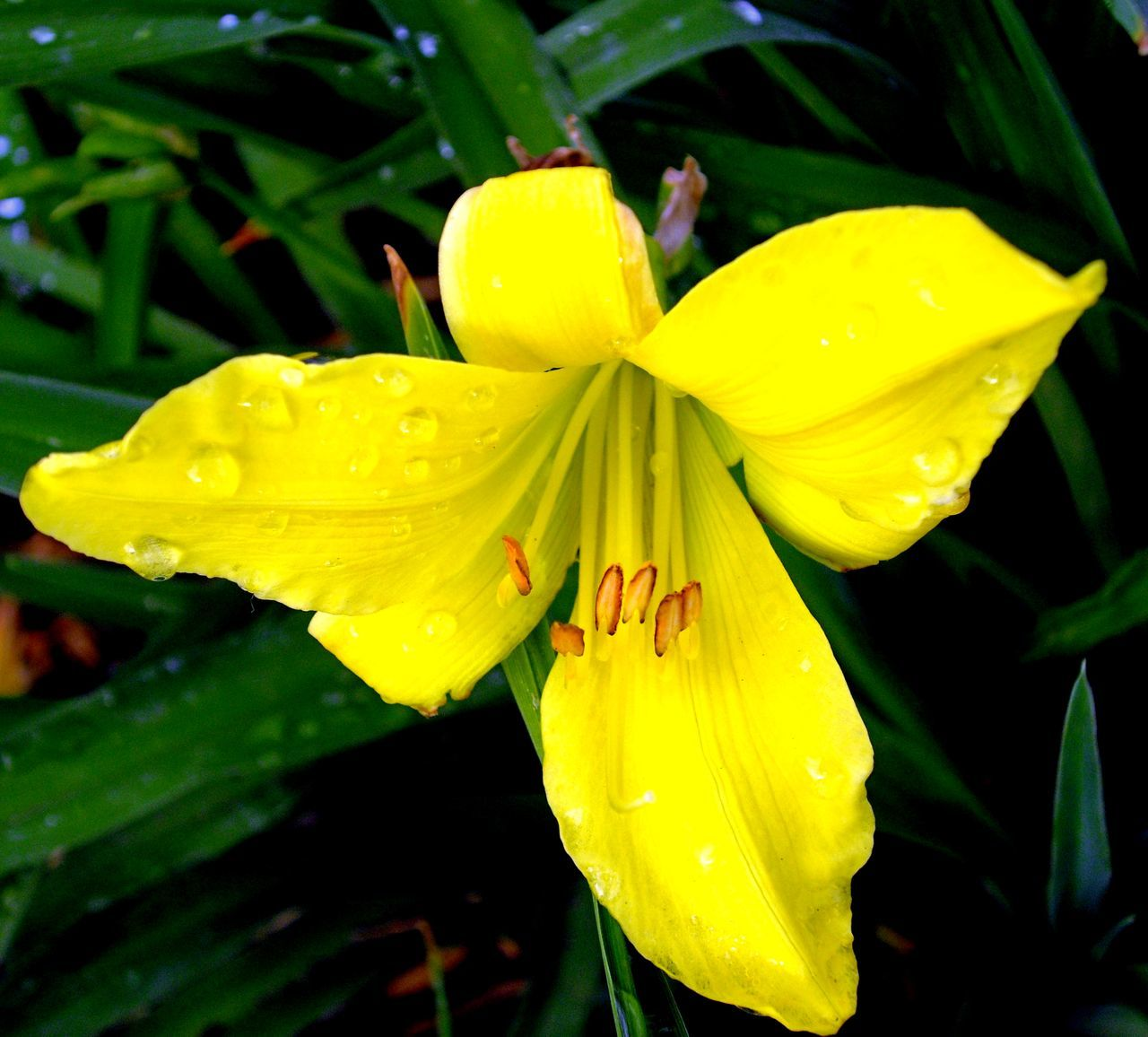 flower, growth, petal, freshness, nature, yellow, wet, fragility, beauty in nature, drop, flower head, plant, water, outdoors, close-up, day, green color, blooming, no people, raindrop, leaf, day lily