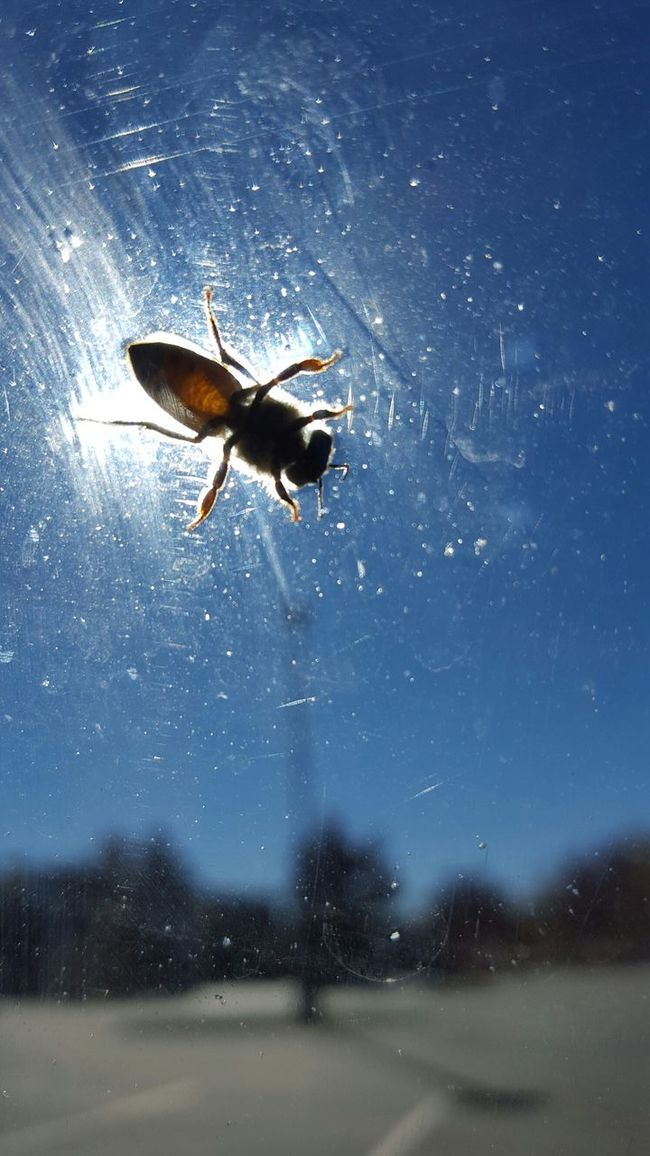 Bee on my windshield Bee Buddy Window Hanging Out Sun Sunny Anatomy Skeletal Insect Beeanatomy Landscape Tiltshift