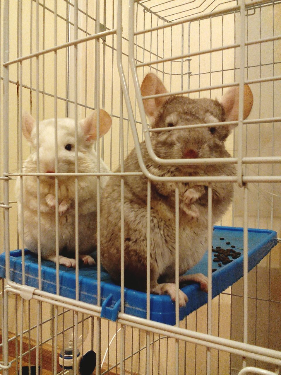 cage, animal themes, domestic animals, pets, indoors, mammal, metal, animals in captivity, trapped, no people, day, security bar