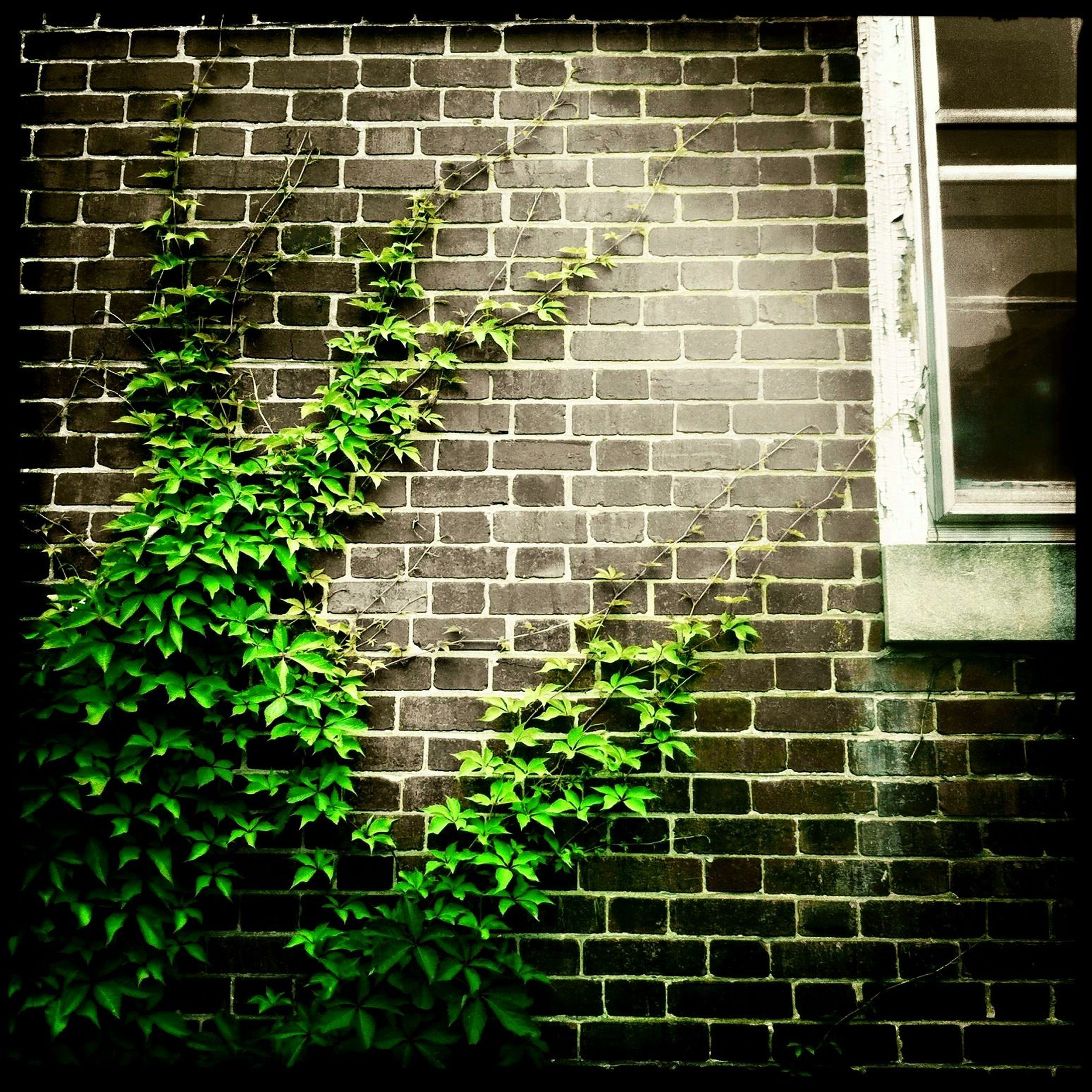 plant, built structure, architecture, building exterior, brick wall, green color, growth, wall - building feature, ivy, leaf, window, wall, house, growing, potted plant, day, no people, close-up, outdoors, auto post production filter