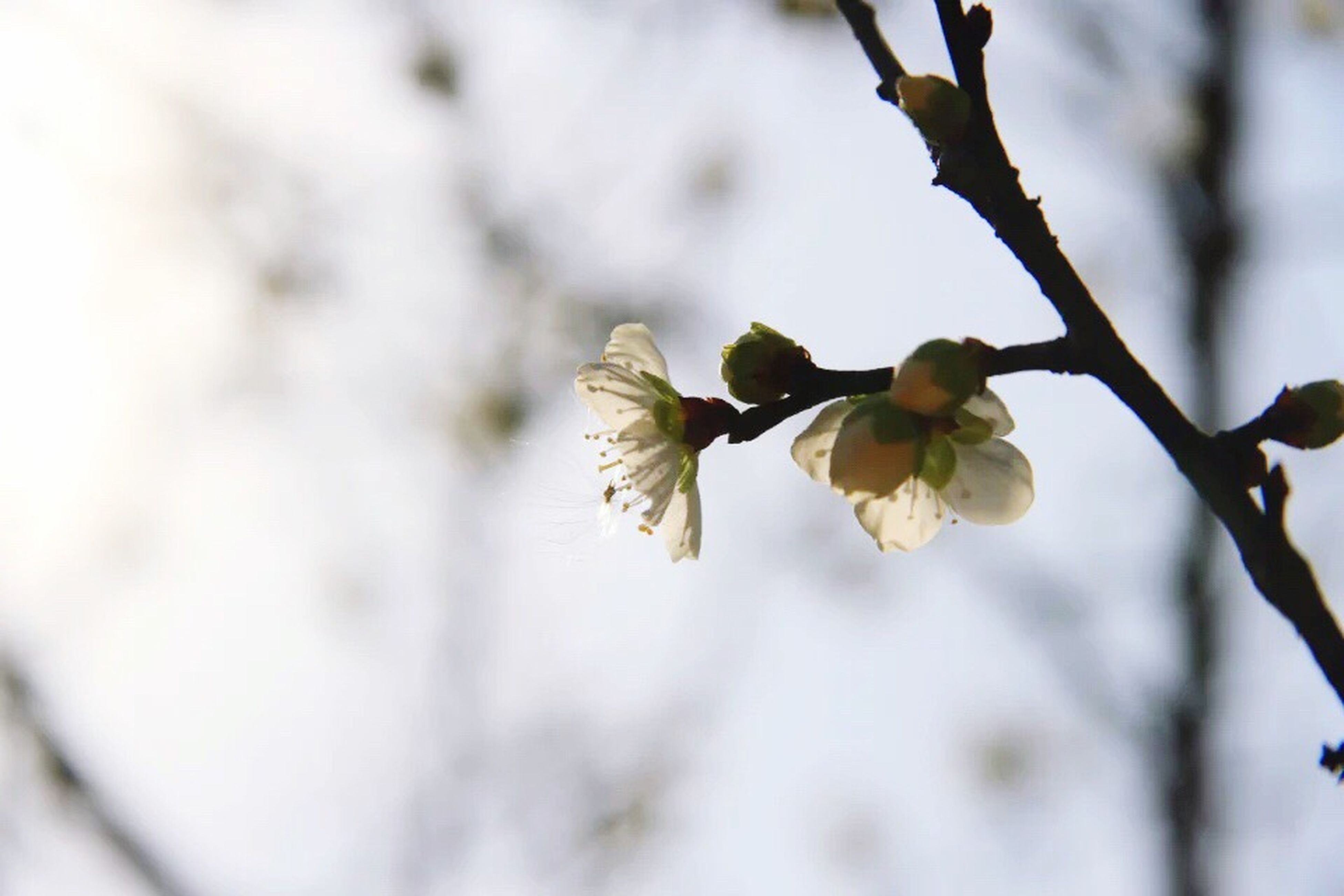 flower, branch, freshness, growth, fragility, petal, tree, beauty in nature, nature, blossom, focus on foreground, close-up, twig, cherry blossom, in bloom, blooming, springtime, white color, flower head, cherry tree