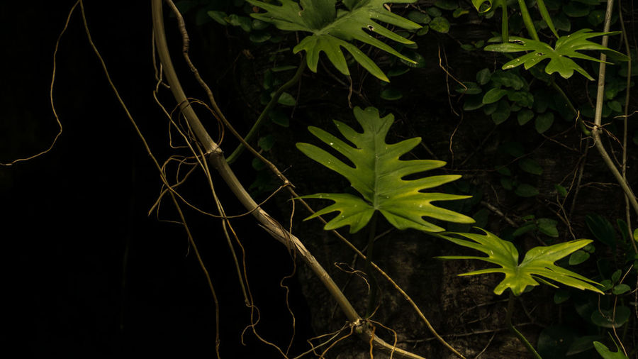 Branches and Prehistoric Leaves In Front of A Cave Branches Nature Nature Photography Beauty In Nature Black Background Close-up Fragility Freshness Garden Green Color Growth Leaf Nature No People Outdoors Plant Prehistoric