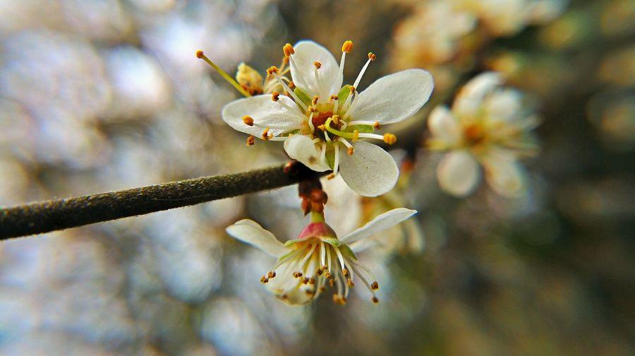 Kirschblüten entdeckt in Kleve - der Frühling ist da Kirsche Kirschblüten  Kirschblüte Kirschbaum Cherry Cherry Blossoms Cherry Blossom Cherryblossom Cherry Tree Spring Frühling Frühlingserwachen Spaziergang First Eyeem Photo Kleve