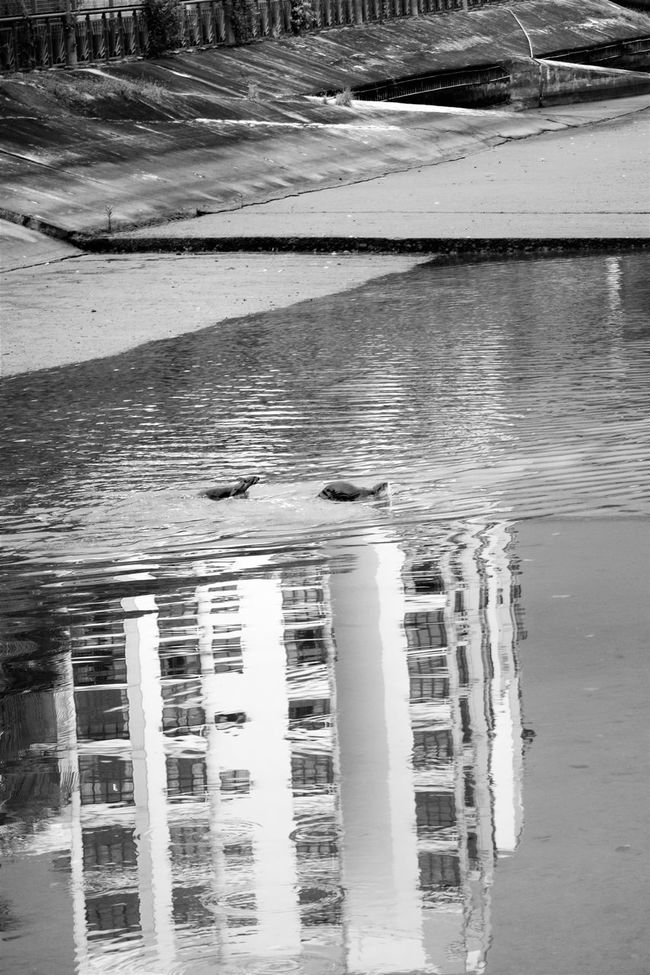 Animals Beauty In Nature Black And White Bw_collection EyeEm Gallery Eyeem Singapore Nature Non-urban Scene Otters Reflections Reflections In The Water Scenics Tranquil Scene Tranquility Water Wooden Post