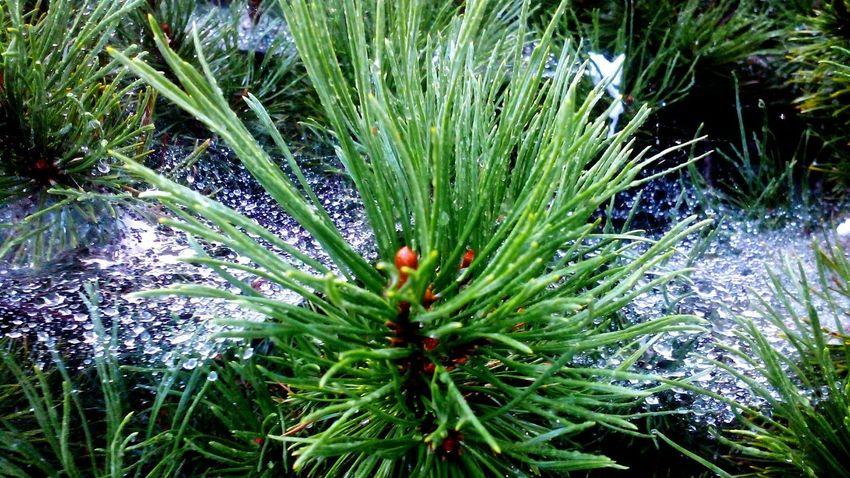 Relaxing Taking Photos Pinus Mugo Rainy Day