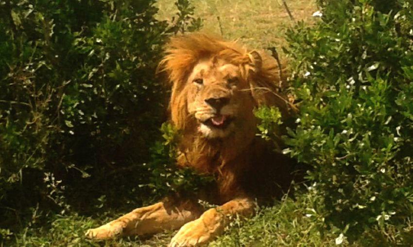 Smile Lion, Smile