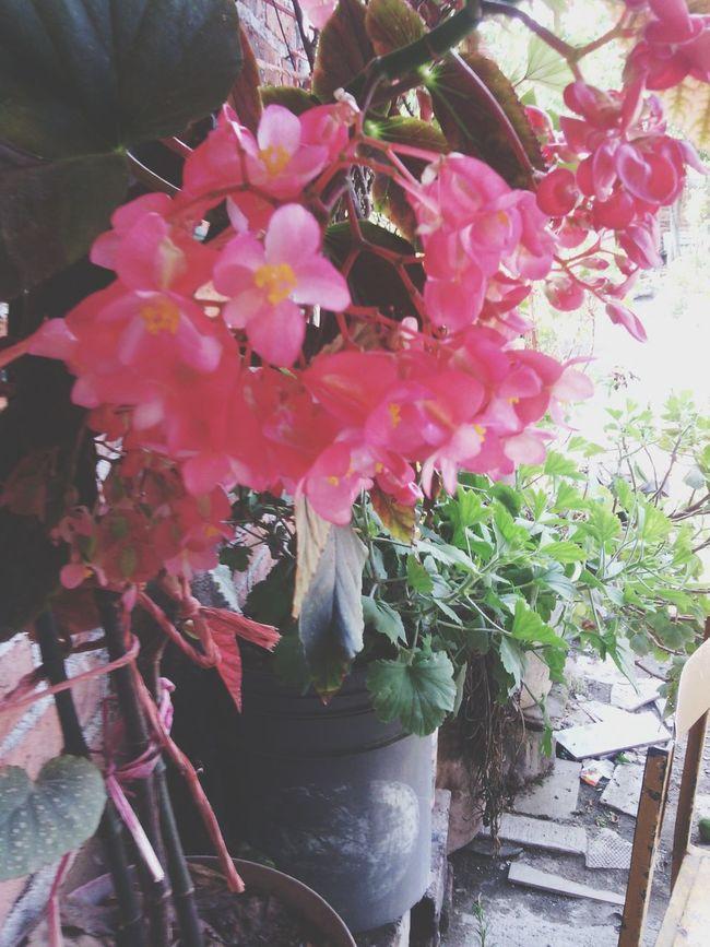 Flowers Pink La Piedad Michoacan