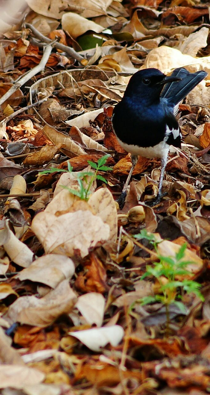bird, animal themes, animals in the wild, one animal, no people, nature, leaf, day, outdoors, close-up