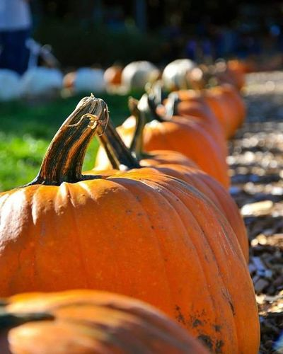 Pumpkinpatch Pumpkinfest Coastalblack Fall Fall2015 Outdoors Outdoorfun Comoxvalley Blackcreek Vancouverisland Britishcolumbia Pumpkins
