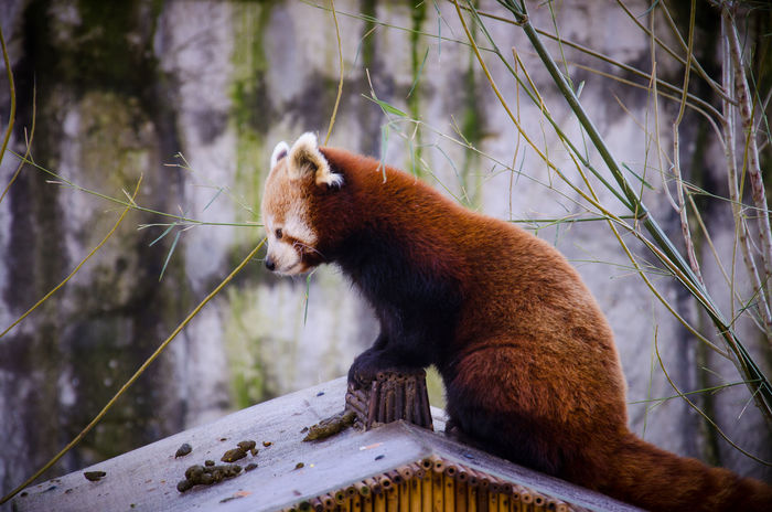 Red Panda in Artis Zoo, Amsterdam Amsterdam Animal Themes Animal Wildlife Animals In The Wild Cold Temperature Cute Day Focus On Foreground Mammal Nature No People One Animal Outdoors Panda Pet Red Panda Snow Tree Winter Zoo Zoology