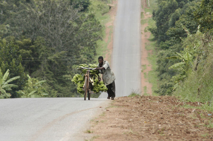 Plantation Worker is pushing with bananas overloaded bike uphill Agriculture Banana Delivery Hard Work Road Transportation Adult Adults Only Africa Bike Black People Day Forest Hard Life Heavy Load Lush Greenery Mountain Nature Only Men Outdoors People Plantation Road Uphill Young Adult