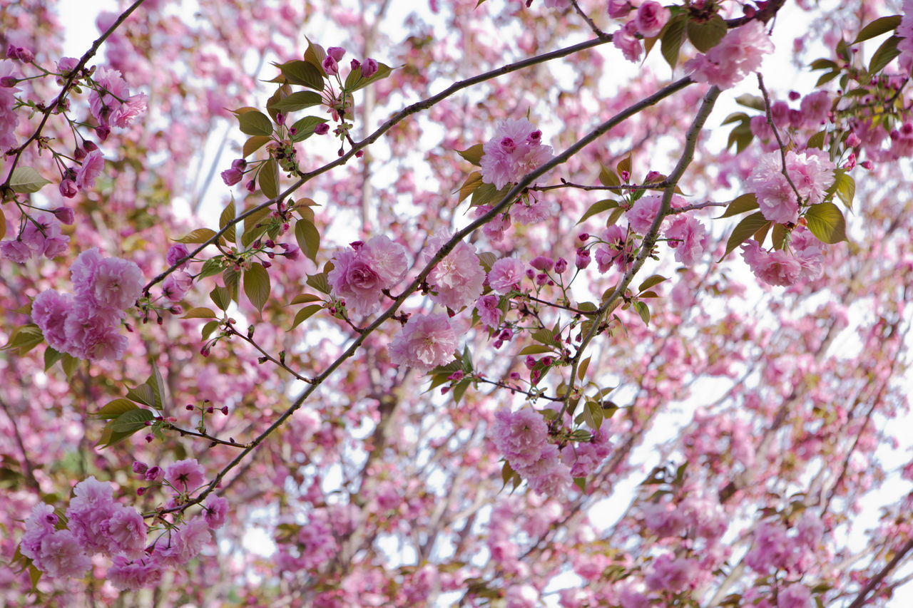 Beauty In Nature Blossom Branch Cherry Blossoms Close-up Day Flower Fragility Freshness Growth Hanami Sakura  Nature No People Outdoors Petal Pink Pink Color Springtime Tree