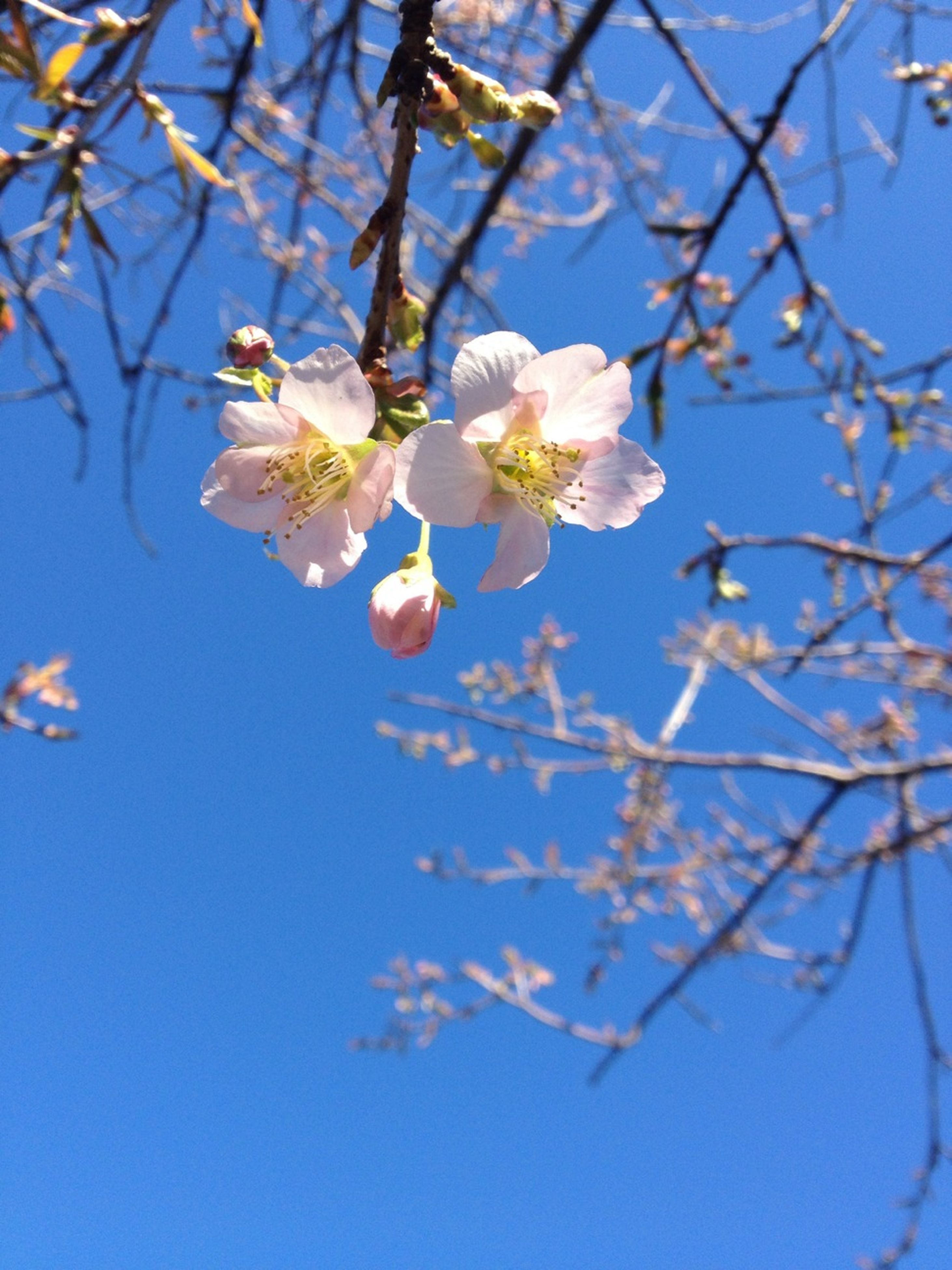 flower, branch, growth, freshness, fragility, tree, beauty in nature, blue, low angle view, nature, blossom, petal, blooming, white color, cherry blossom, twig, in bloom, close-up, sky, day