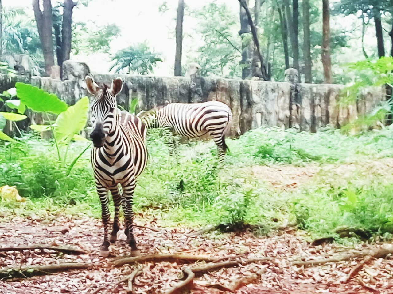 Zebra Striped Zebra Animals In The Wild Mammal Animal Wildlife Animal Themes Tree Outdoors Standing Nature Day No People Growth Animal Markings INDONESIA Beauty In Nature
