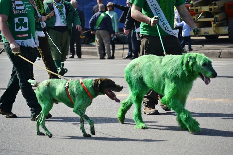 Capture The Moment green Dogs at the St. Patricks Day Parade in Chicago