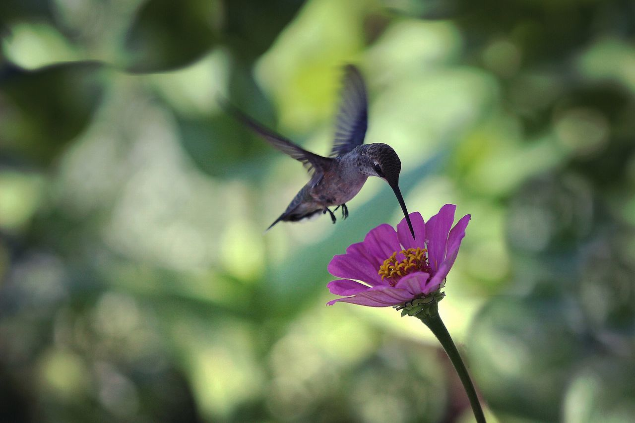 Nature Photography Nature_collection Nature Hummingbirds Flowers Zinnia  Hummingbird Dof Depth Of Field