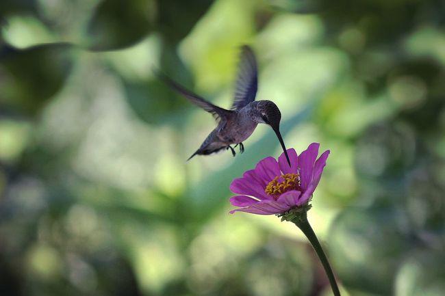 Nature Photography Nature_collection Nature Hummingbirds Flowers Zinnia  Hummingbird Dof Depth Of Field