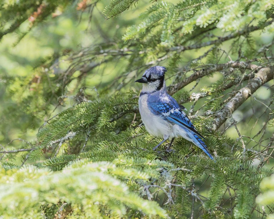 Animal Themes Animal Wildlife Animals In The Wild Beauty In Nature Bird Blue Jay Bird Branch Close-up Day Green Color Nature No People One Animal Outdoors Perching Tree