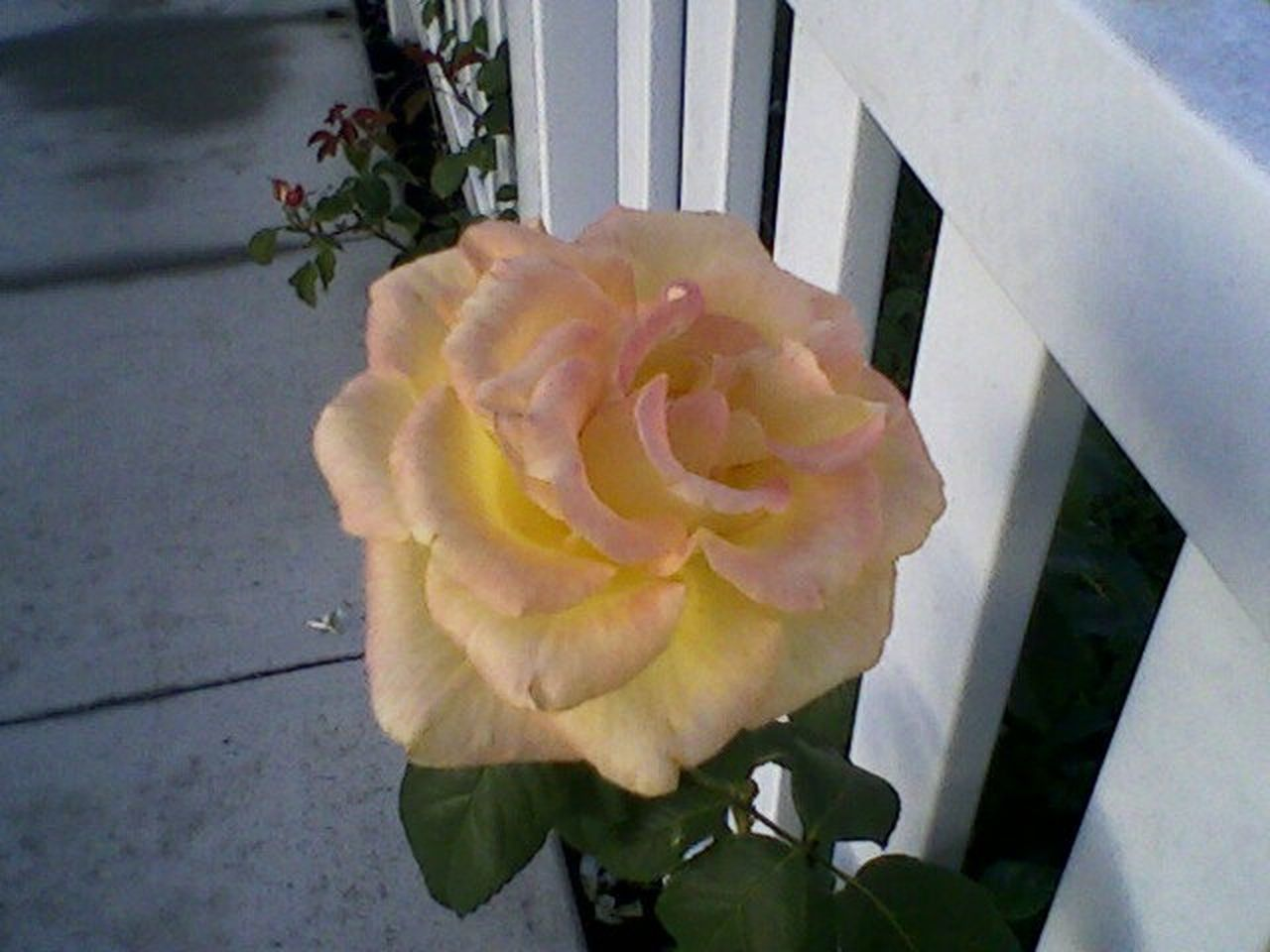 Beauty In Nature Blooming Close-up First Eyeem Photo Flower Flower Head No People Rose By Fence Rosé Yellow And White Yellow Rose