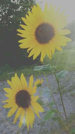 Sunset Wild Flower Fragility Freshness Flower Head Yellow Petal Stem Growth Beauty In Nature Close-up Nature Sunflower In Bloom Plant Blossom Botany Bloom Dandelion Day Pollen Beauty In Nature MUR HARVEST Fall Beauty The Song Of Light