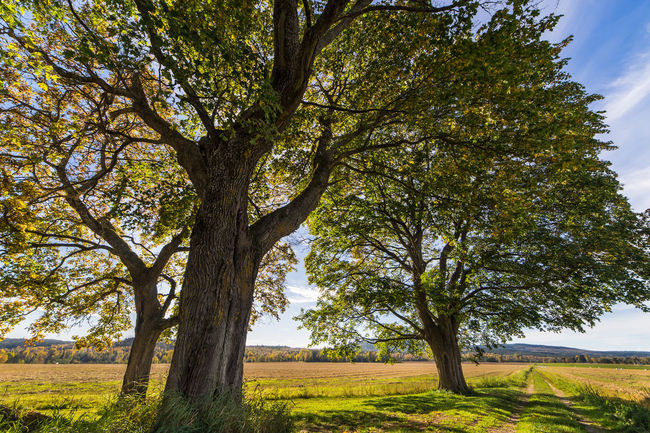 Autumn at the old oaks in gagnef, Dalarna, Sweden Autumn Beauty In Nature Color Dalarna Dalecarlia Day Grass Green Color Landscape Nature No People Northern Europe Oak Outdoors Scandinavia Sweden Tree Trees
