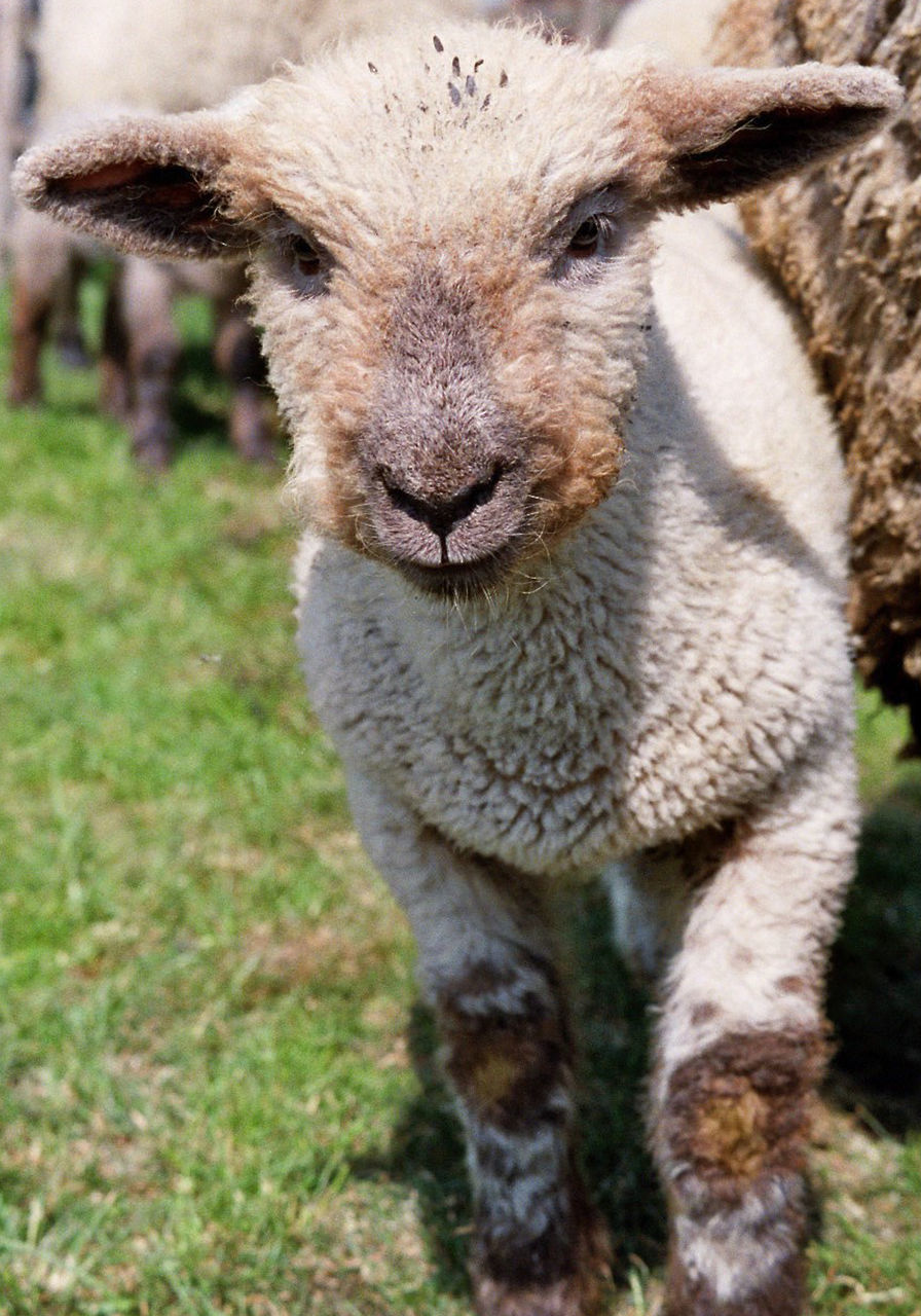 Close-Up Of Lamb Standing On Grassy Field