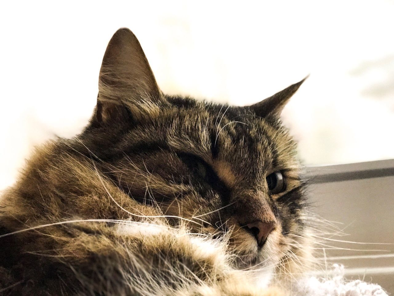 Domestic Cat Domestic Animals Pets Mammal One Animal Animal Themes Feline Close-up Lying Down No People Indoors  Day Cat Cats Maine Coone Maine Coon Fuzzy Soft Fluffy Floof Fluff Cute Adorable Cozy Comfy