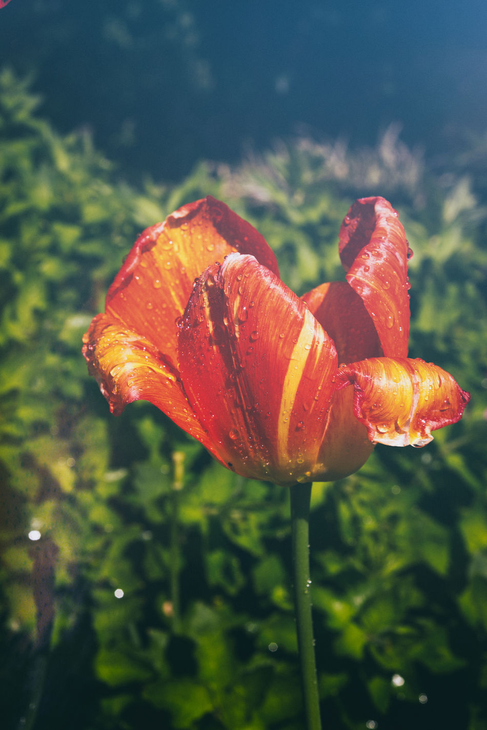 Tulip Beauty In Nature Blooming Close-up Day Day Lily Drop Flower Flower Head Fragility Freshness Garden Growth Leaf Nature No People Outdoors Petal Plant Poetry In Nature Red Rot Tulip Tulpe Water Wet