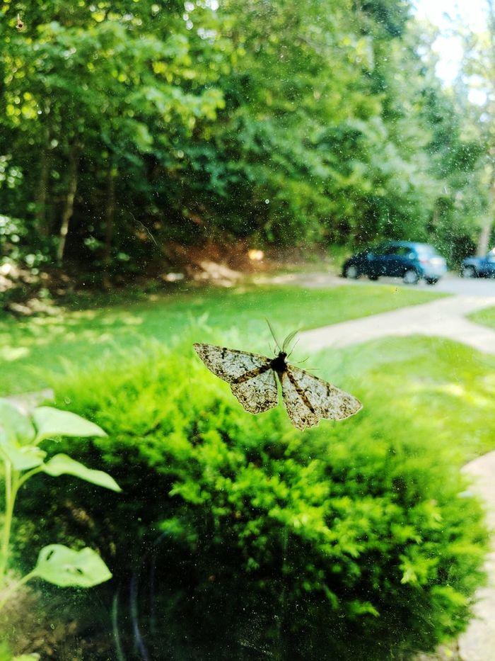 Moth perched on a window. Moths Mothsofinstagram Mothselfie