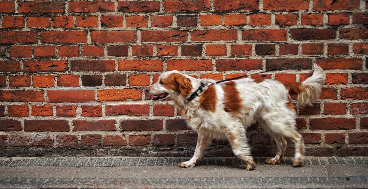 brick wall, dog, pets, domestic animals, one animal, animal themes, full length, outdoors, day, standing, no people, mammal