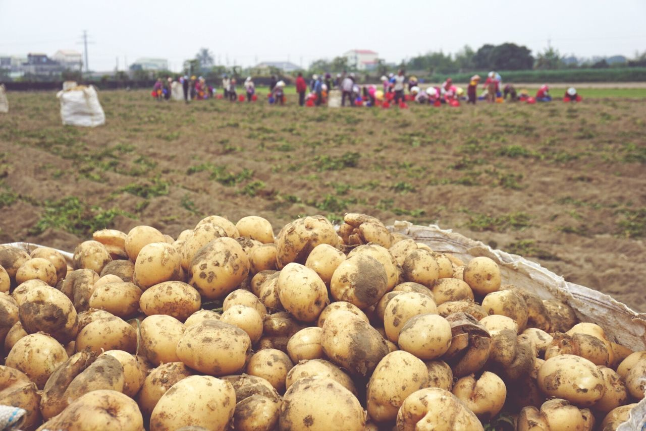 Potato People Harvest