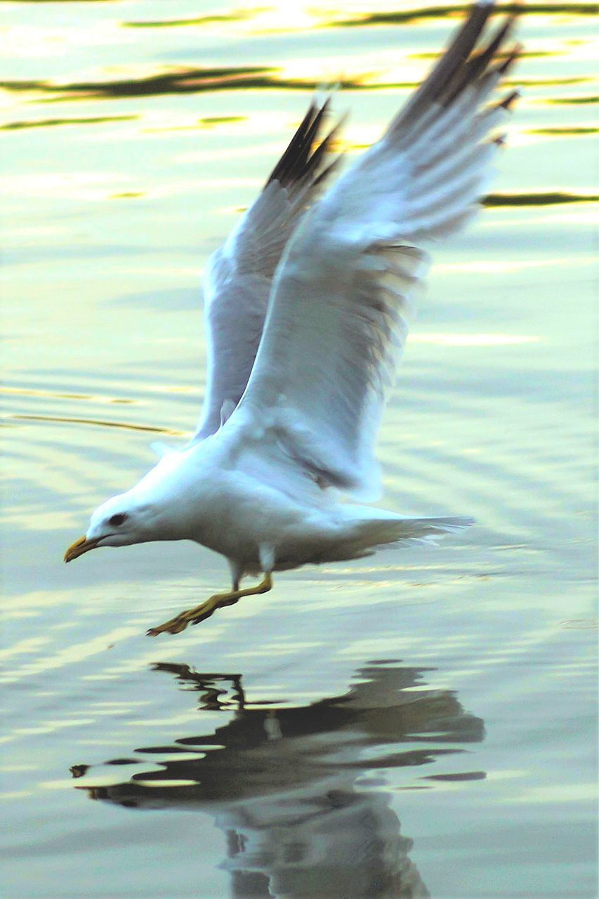 animal themes, bird, spread wings, animals in the wild, water, one animal, lake, waterfront, day, motion, reflection, flying, full length, no people, flapping, animal wildlife, nature, outdoors, close-up, swan
