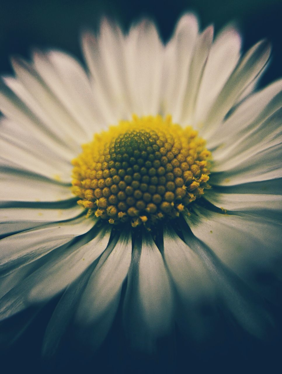 flower, yellow, fragility, petal, flower head, beauty in nature, nature, freshness, growth, pollen, blooming, no people, close-up, day, plant, outdoors, black-eyed susan
