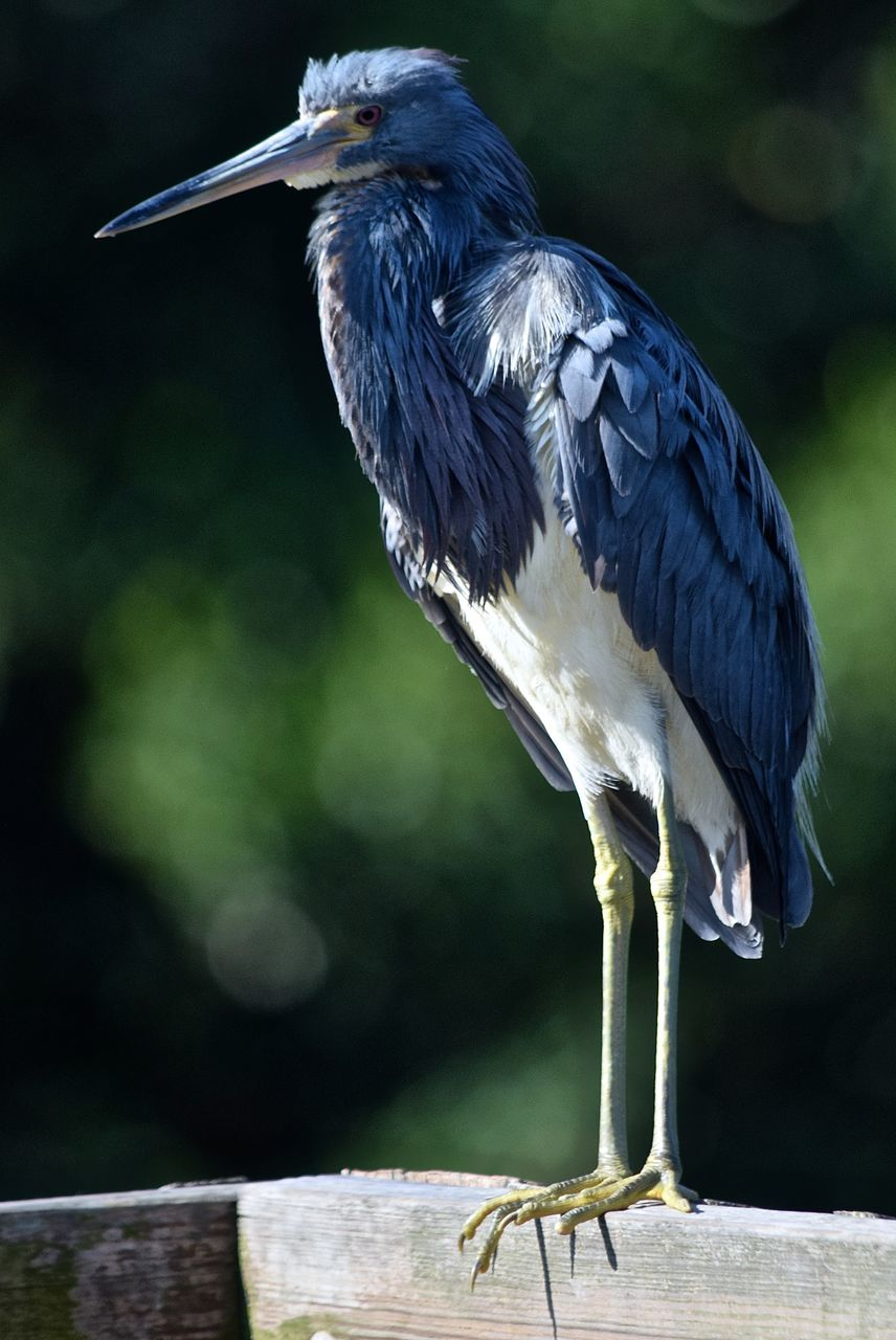 bird, one animal, animals in the wild, animal themes, focus on foreground, animal wildlife, heron, perching, day, outdoors, no people, gray heron, close-up, beak, nature, beauty in nature