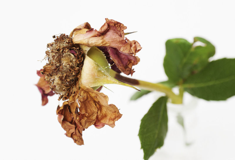dried rose flower Aging Process Close Up Close-up Concept Dead Decay Decline Dried Drying Faded Flower Fragility Horizontal No People Petals Rose🌹 Studio Shot White Background Wilted Withered