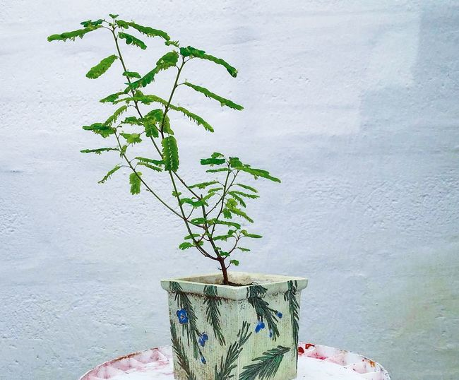Plant Growth Branch Green Color Nature Beauty In Nature Freshness No People Beauty In Nature Fragility Growth Ecuadoramalavida Primeroecuador Flowers,Plants & Garden Bonsai In Training Nature Taking Photos Check This Out Tree