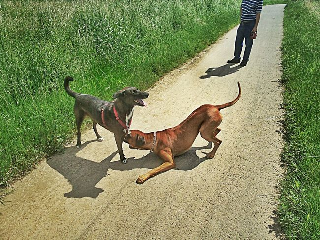 Dog Two Dogs Playing Rhodesian Ridgeback and Labradenco 😉 Animal Themes Pets Domestic Animals Mammal Shadow High Angle View Sunlight Standing Road Livestock Herbivorous Sunny Day Outdoors Zoology Green Grass Walk Through The Fields Frankfurt Am Main Germany🇩🇪