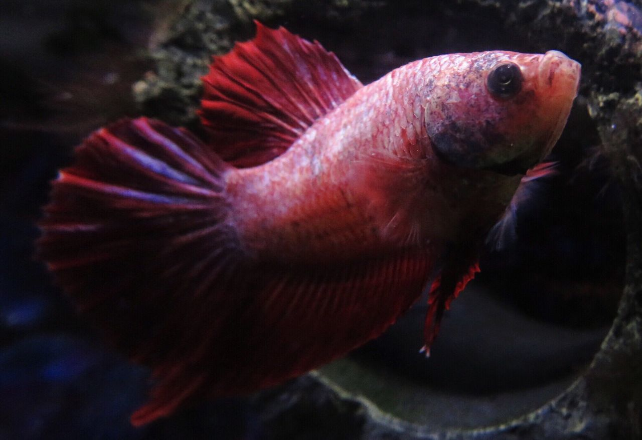 Animal Themes Close-up Water Underwater Swimming Betta Fish Bettas Bettafishcommunity Betta  Bettacommunity Betta Lovers Bettafish Fish One Animal